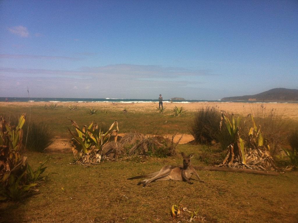Kangaroo at leisure