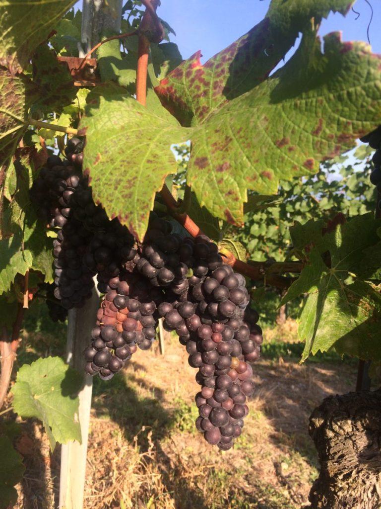 Swiss grapes