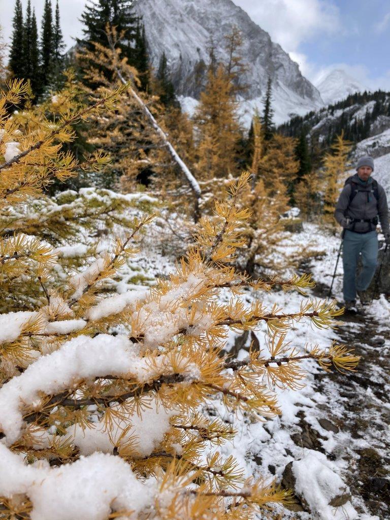 Man hiking near a larch tree at Chester Lake