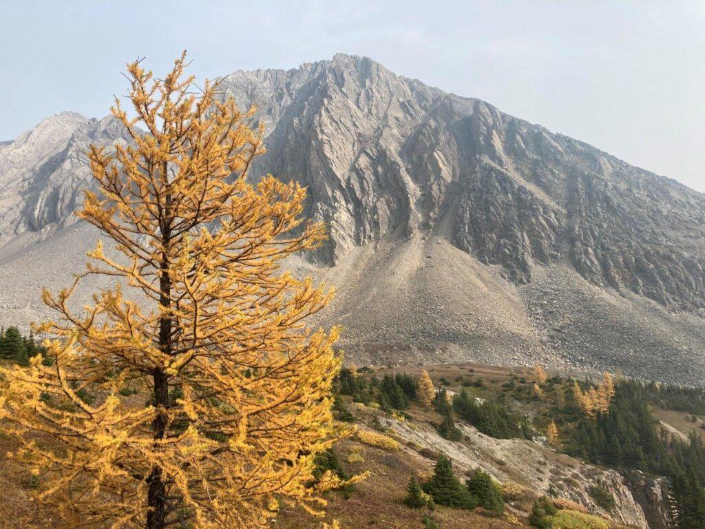 Bright yellow larch tree on Ptarmigan Cirque
