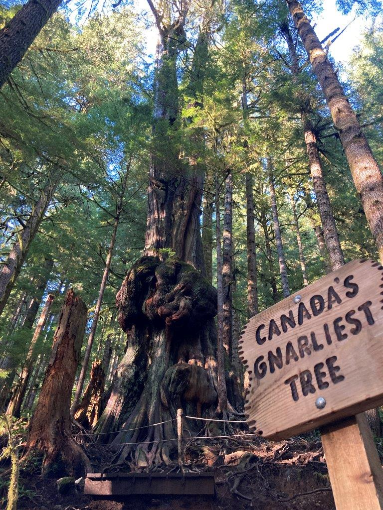 Sign for Canada's Gnarliest Tree with a tree behind with big bulges near Port Renfrew BC