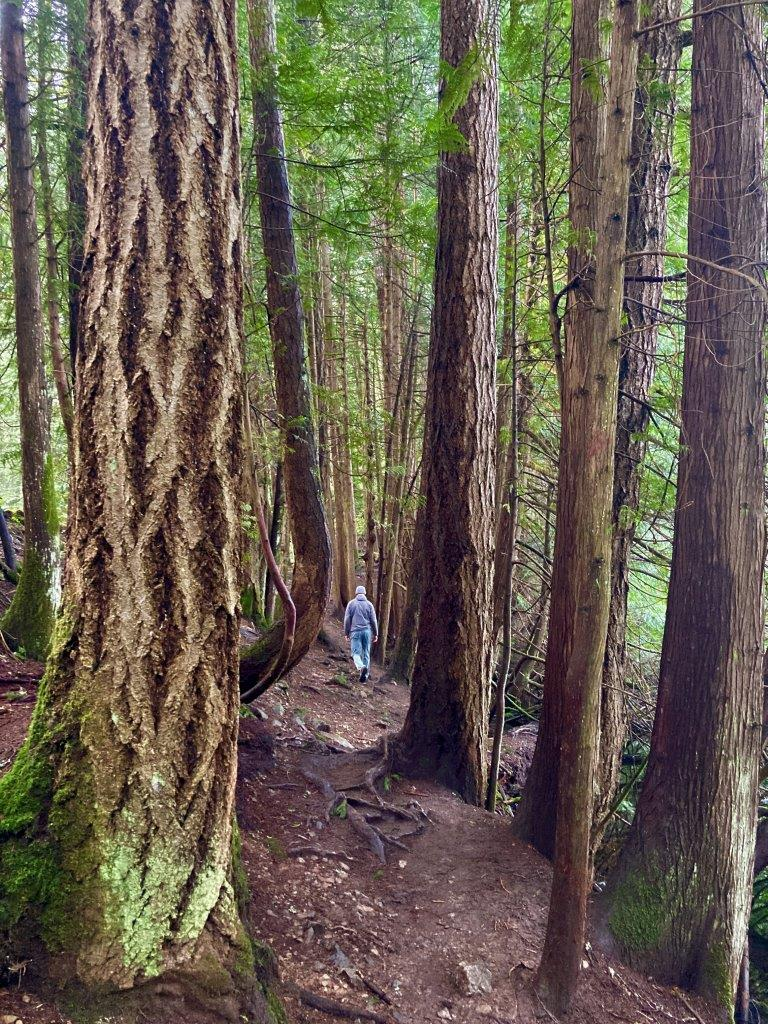 Man walking along trail with tall trees