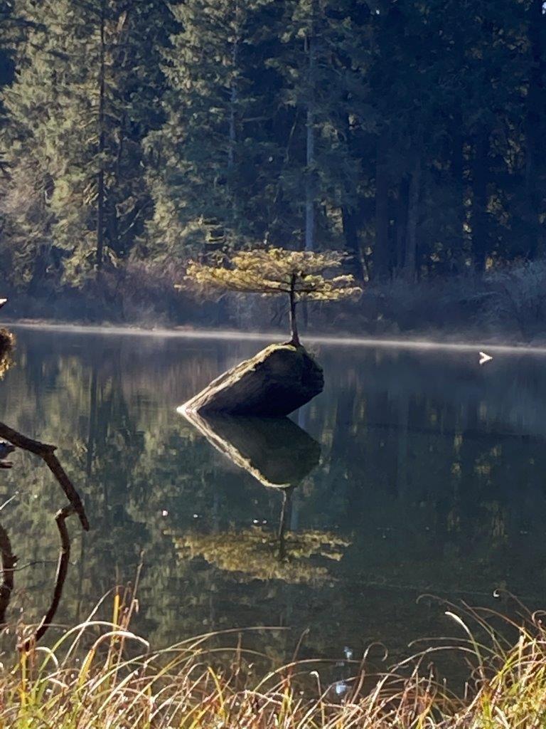 A dwarf douglas fir tree on a stump on Fairy Lake Canada