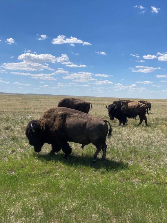 Bison grazing at the Grasslands National Park Saskatchewan