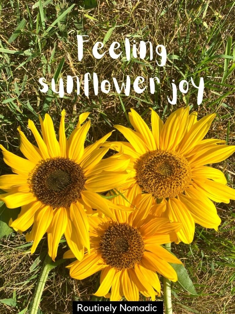Three sunflowers on the grass with a cute captions about sunflowers that reads feeling sunflower joy