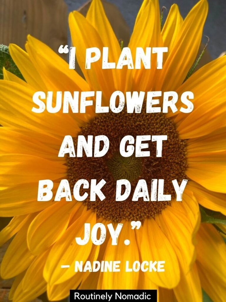 Close up of yellow sunflower with a happy sunflower quotes that reads I plant sunflowers and get back daily joy