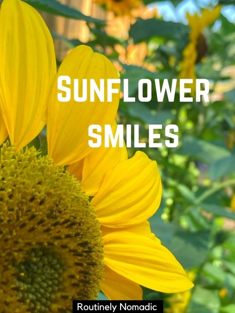 Close up of sunflower from the side with a short sunflower captions that reads sunflower smiles