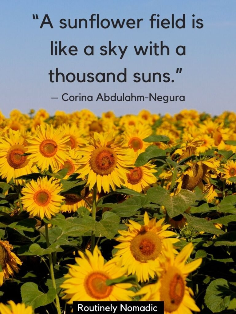 hundreds of sunflowers and a sunflower field quotes that reads a sunflower field is alike a sky with a thousand suns
