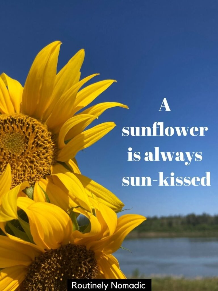 Two sunflowers in front of a river and blue sky with a sunflower instagram captions that reas a sunflower is always sun-kissed