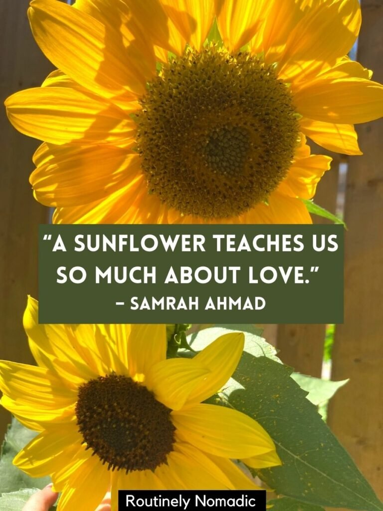 Two sunflowers with a sunflower love quotes that reads a sunflower teaches us so much about love