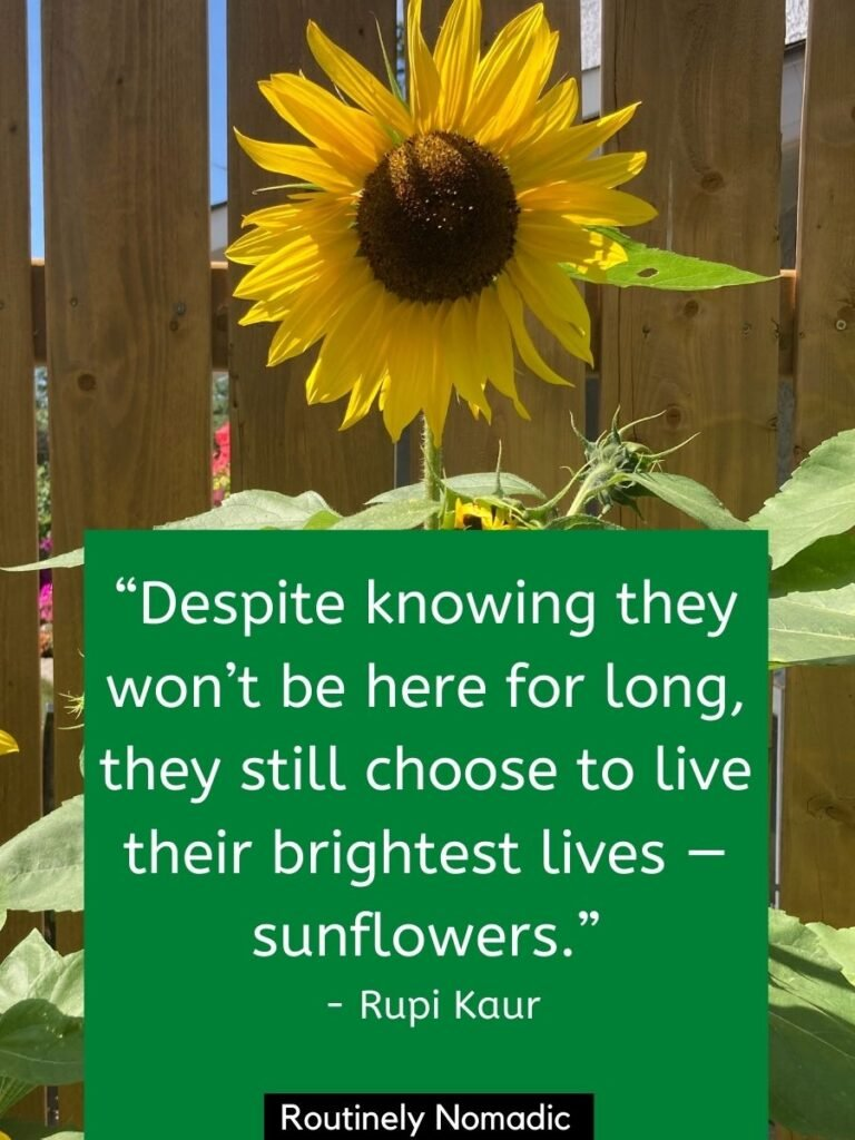 A single sunflower against a fence with a sunflower quotes about life by Rupi Kaur