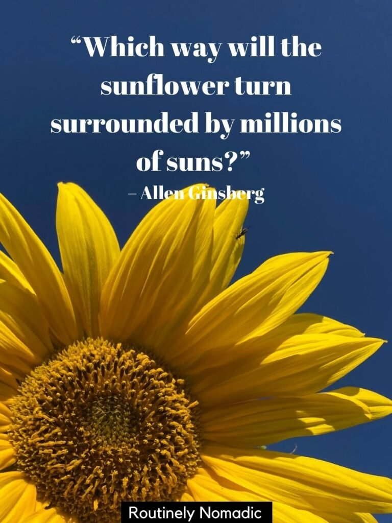 Sunflower with a blue sky and a sunflower quotes by Allen Ginsberg
