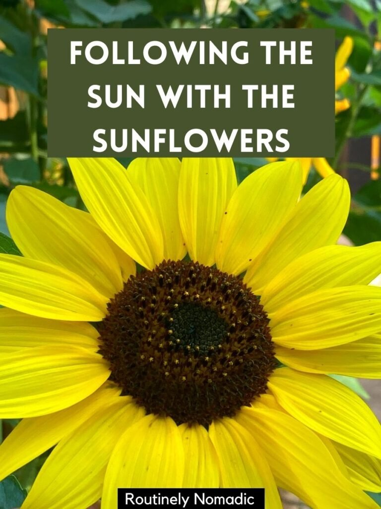 Yellow sunflower close up with a sunflower caption that reads following the sun with the sunflowers.