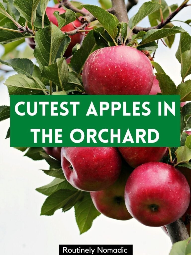 Apples on a tree and a apple picking captions that reads cutest apples in the orchard