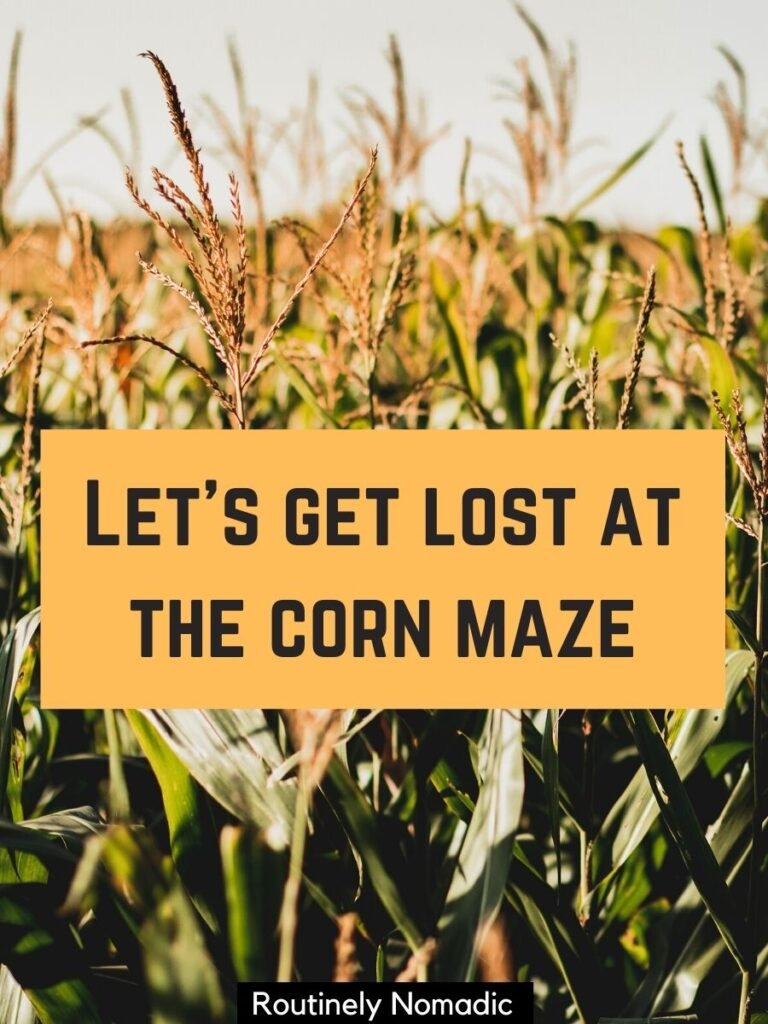 Field of corn and a corn maze captions that reds let's get lost the the corn maze