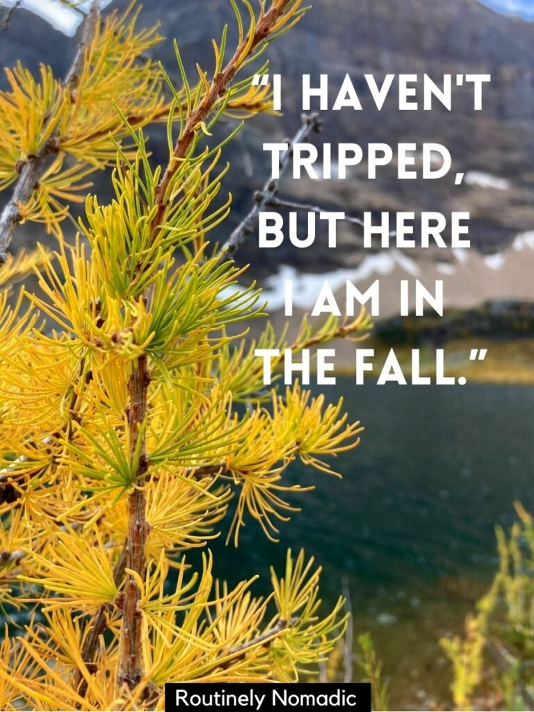 Yellow larch tree with a cute fall sayings that reads I haven't tripped but here I am in fall