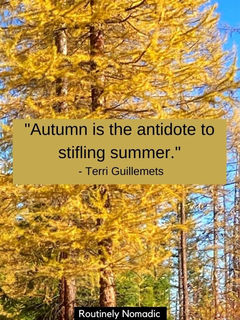 Yellow larch tree with a fall quotes that reads autumn is the antidote to stifling summer