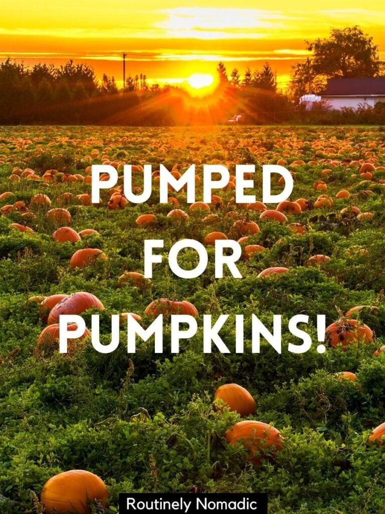Field of pumpkins at sunset with a pumpkin field captions that reads pumped for pumpkins
