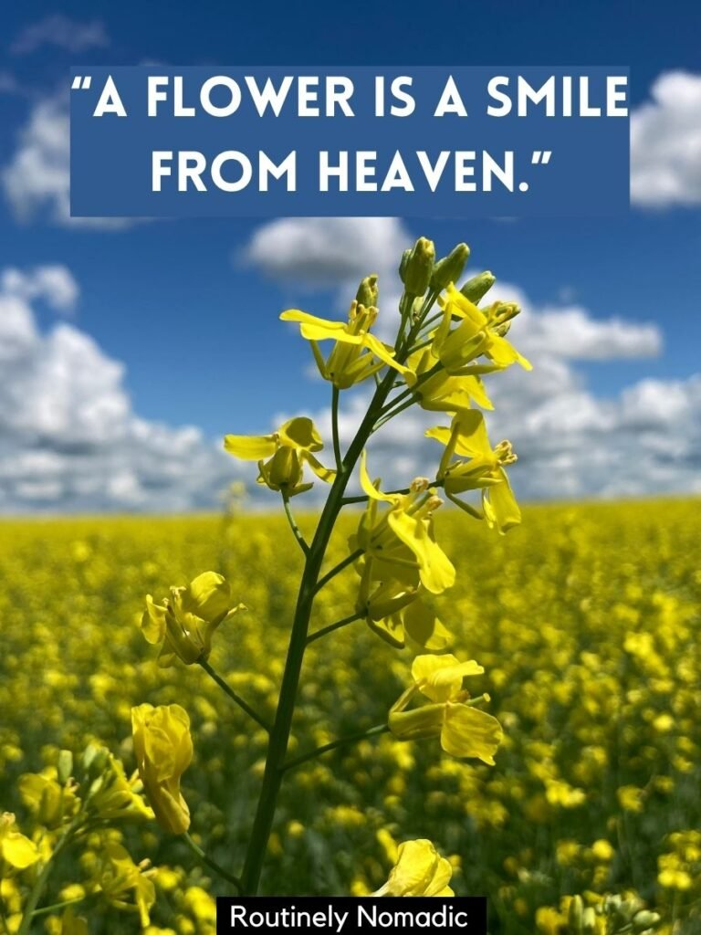 Canola field in bloom with short flower sayings that says a flower is a smile from heaven